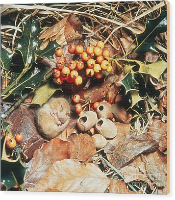 Hibernating Dormouse Wood Print by Jane Burton