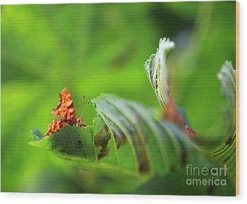 Hiding Comma Butterfly Wood Print by Clare Scott
