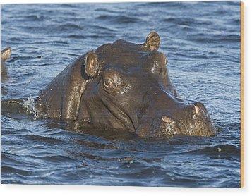 Hippopotamus Hippopotamus Amphibius Wood Print by Suzi Eszterhas