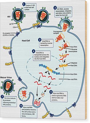 Hiv Virus Replication Cycle Wood Print by Science Source