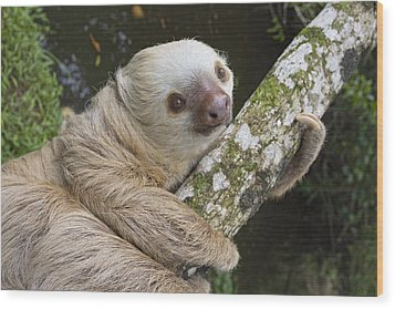 Hoffmanns Two-toed Sloth Costa Rica Wood Print by Suzi Eszterhas