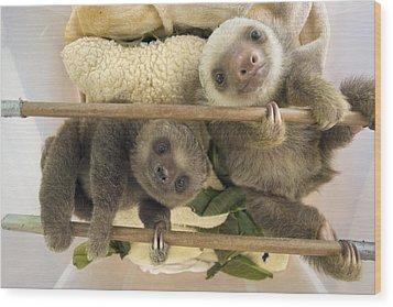 Hoffmanns Two-toed Sloth Orphaned Babies Wood Print by Suzi Eszterhas