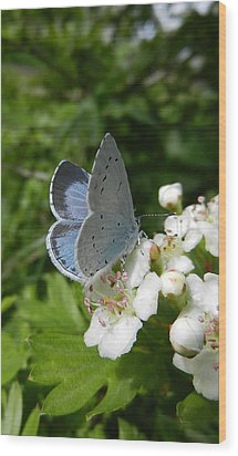 Holly Blue Wood Print