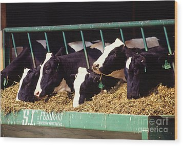 Holstein Dairy Cows Wood Print by Photo Researchers