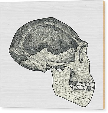 Homo Erectus Skull Wood Print by Sheila Terry