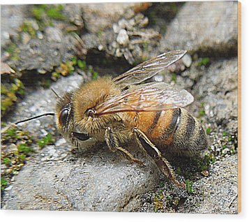 Wood Print featuring the photograph Honey Bee On Rocks by Renee Trenholm