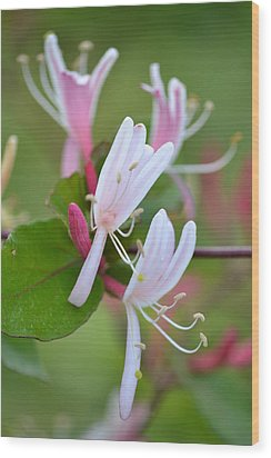 Wood Print featuring the photograph Honeysuckle by JD Grimes