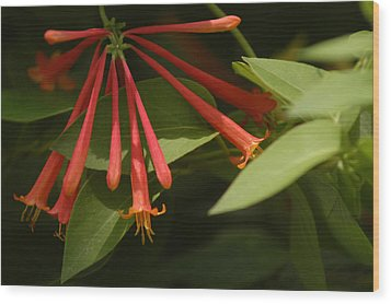 Wood Print featuring the photograph Honeysuckle by Wanda Brandon
