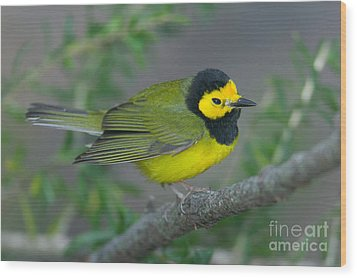 Hooded Warbler Wood Print by Clarence Holmes