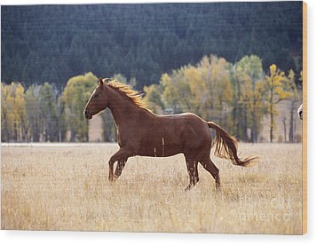 Horse Running Wood Print by Alan and Sandy Carey and Photo Researchers