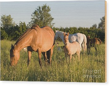 Horses In Green Grassy Pasture Wood Print by Cindy Singleton