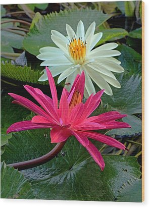 Hot Pink And White Water Lillies Wood Print by Larry Nieland