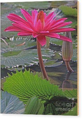 Hot Pink Waterlily Wood Print by Larry Nieland