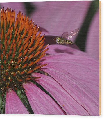 Hoverfly Hovering Over Cornflower Wood Print