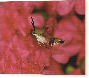 Hovering Clearwing Hummingbird Moth Wood Print by Lara Ellis
