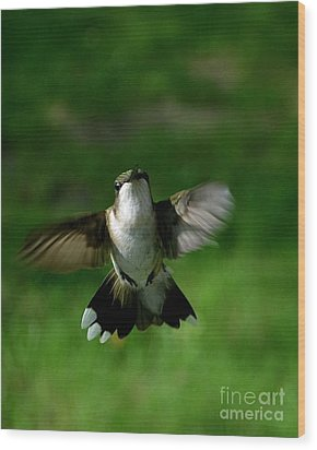 Hovering Hummingbird  Wood Print by Sue Stefanowicz