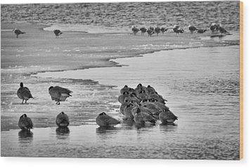 Wood Print featuring the photograph Huddled Honkers by Kevin Munro