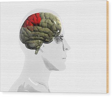 Human Brain, Parietal Lobe Wood Print by Christian Darkin