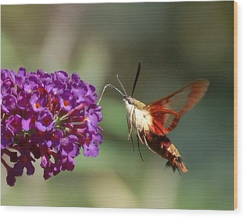Hummingbird Moth Wood Print by Randy J Heath