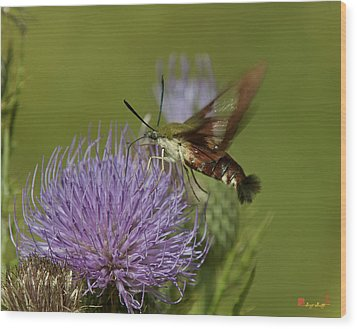 Hummingbird Or Clearwing Moth Din178 Wood Print