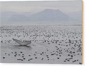 Humpback Whale Diving Amid Seabirds Wood Print by Flip Nicklin