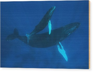 Humpback Whale, Megaptera Novaeangliae Wood Print by Mauricio Handler