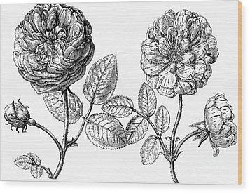Hundred-leafed Rose Wood Print by Granger