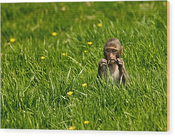 Wood Print featuring the photograph Hungry Monkey by Justin Albrecht