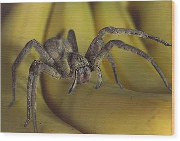 Hunting Spider Cupiennius Salei Walking Wood Print by Heidi & Hans-Juergen Koch