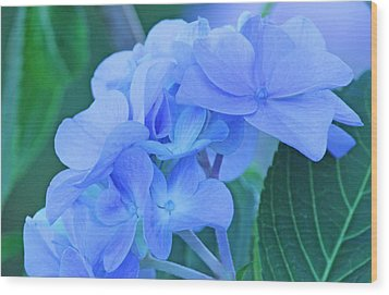 Hydrangea Blue Wood Print by Becky Lodes