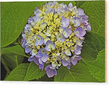 Hydrangea In Frame Wood Print by Larry Bishop