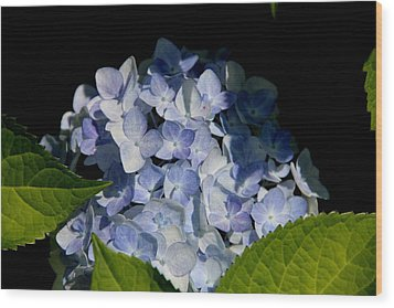 Hydrangea In The Morning Wood Print