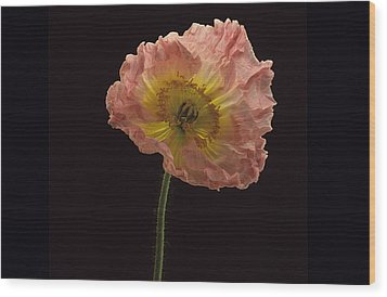 Wood Print featuring the photograph Iceland Poppy 3 by Susan Rovira