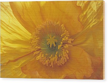 Wood Print featuring the photograph Iceland Poppy 4 by Susan Rovira