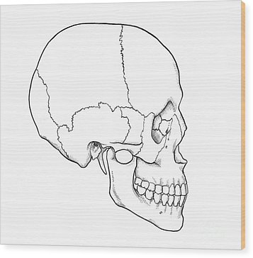 Illustration Of Human Skull Wood Print by Science Source