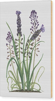 Illustration Of Leopoldia Comosa Syn Muscari Comosum (tassel Hyacinth) Bearing Violet-blue Flowers And Buds On Tall Stems And Long Green Leaves Wood Print by Barbara Walker