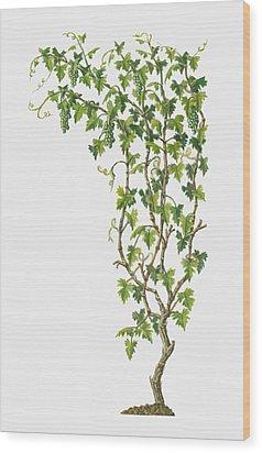 Illustration Of Vitis Vinifera (common Grape Vine) Bearing Bunches Of Ripe Green Fruit Wood Print by Dorling Kindersley