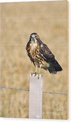 Immature Swainson's Hawk Wood Print by Laura Mountainspring