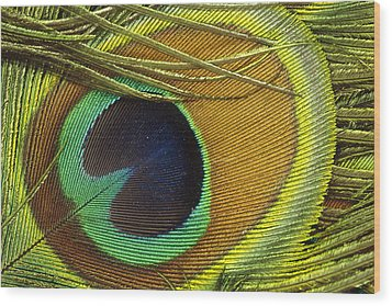 Indian Peafowl Pavo Cristatus Male Wood Print by Gerry Ellis