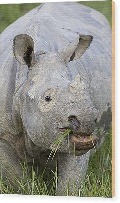 Indian Rhinoceros Grazing Kaziranga Wood Print by Suzi Eszterhas