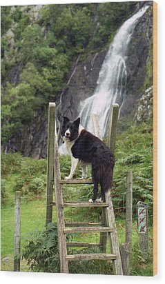 Indy At Aber Falls Wood Print by Michael Haslam