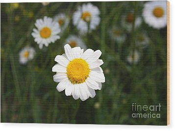 Wood Print featuring the photograph Isn't That A Daisy by Tony Cooper