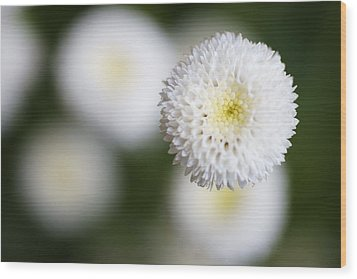 Isolated White Flower Bud Wood Print by Tim Green