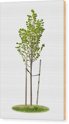 Isolated Young Linden Tree Wood Print by Elena Elisseeva