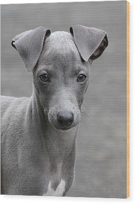 Italian Greyhound Puppy 2 Wood Print by Angie Vogel