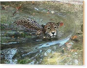 Wood Print featuring the photograph Jaguar In For A Swim by Kathy  White