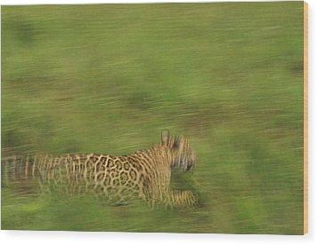 Jaguar Panthera Onca Running Wood Print by Claus Meyer