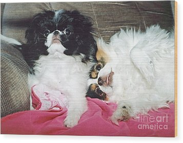 Wood Print featuring the photograph Japanese Chin Dogs Begging For Treats by Jim Fitzpatrick
