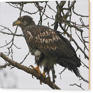 Wood Print featuring the digital art Juvenile Bald Eagle by Carrie OBrien Sibley