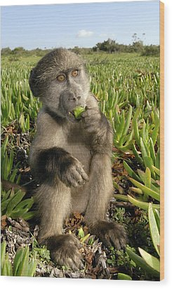 Juvenile Chacma Baboon Wood Print by Peter Chadwick